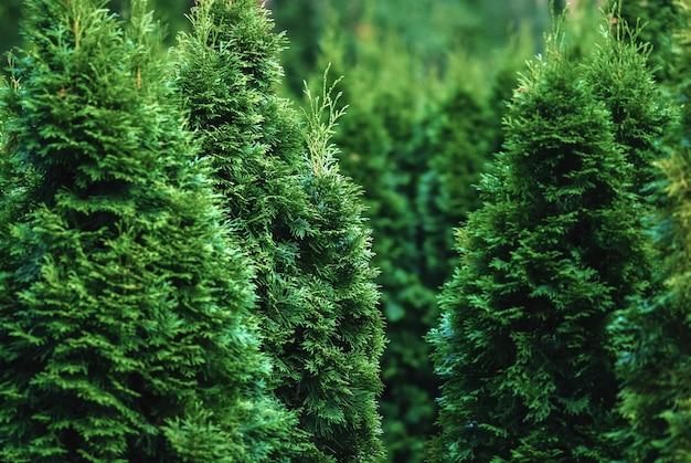 Árvores de cedro-branco do norte