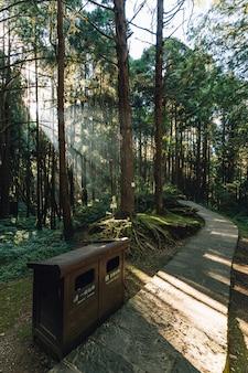 Árvores de cedro japonês na floresta com raio de luz solar e lata de lixo coberto