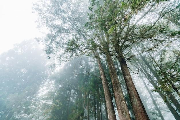 Árvores de cedro japonês na floresta que vê de baixo na área de recreação nacional da floresta de alishan no condado de chiayi, distrito de alishan, taiwan.