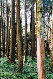 Árvores de cedro japonês que entortam com serapilheira para evitar o escurecimento do inverno na floresta na área de recreação nacional da floresta de alishan no condado de chiayi, distrito de alishan, taiwan.
