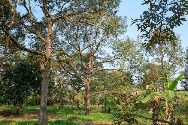 Árvores de durian dos jardineiros tailandeses orientais. muito velho e produz muito