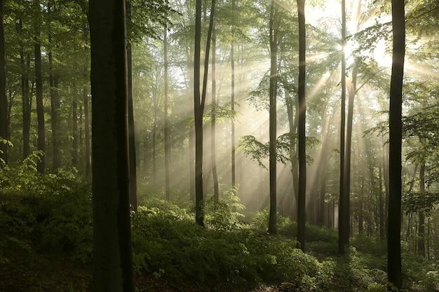 Árvores de faia em uma floresta de primavera em uma encosta de montanha após a chuva