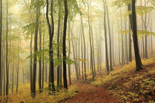 Árvores de faia na floresta de outono em um clima nebuloso e chuvoso