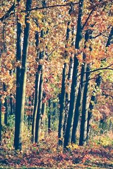 Árvores de folha caduca, carvalhos jovens com folhas vermelhas no outono, efeito de filtro