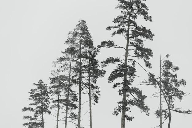 Árvores de folhas perenes hoarfrosted