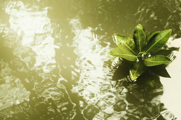 Árvores de mangue (rhizophora mucronata) com sombras borradas na água lisa e ondulada, foco seletivo.