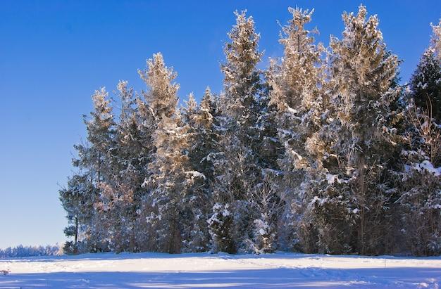 Árvores de natal no fundo de um céu azul. árvores na floresta, cobertas de neve
