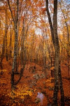 Árvores de outono amarelo na floresta em raine