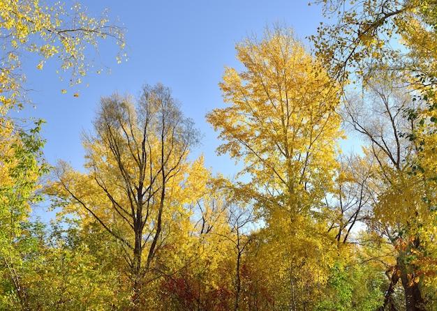 Árvores de outono contra o céu azul. coroas e ramos cobertos com folhas douradas