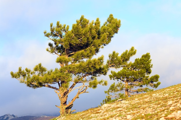 Árvores de pinheiro-coníferas na encosta da montanha (dia enevoado)