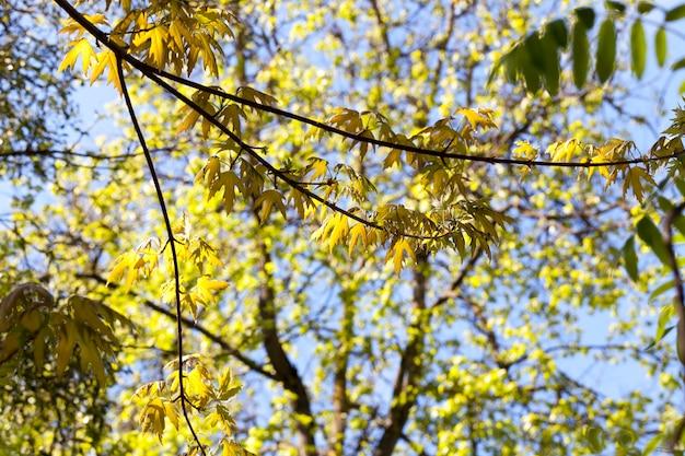 Árvores de primavera com novas folhas brotando, galhos de carvalho com lindas folhas e flores amarelas