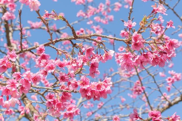 Árvores de sakura florescendo