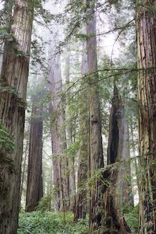 Árvores de sequóia na floresta do norte da califórnia, eua