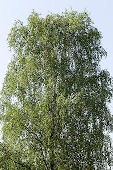 Árvores de vidoeiro crescendo nas proximidades no verão