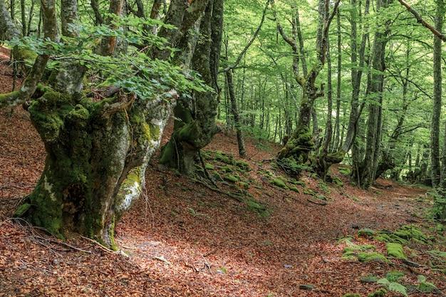 Árvores decíduas antigas com solo cheio de folhas