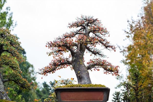 Árvores decíduas bonsai no parque.