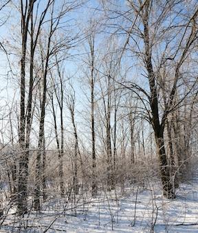 Árvores decíduas no inverno na floresta. depois de uma nevasca contra um céu azul com tempo ensolarado