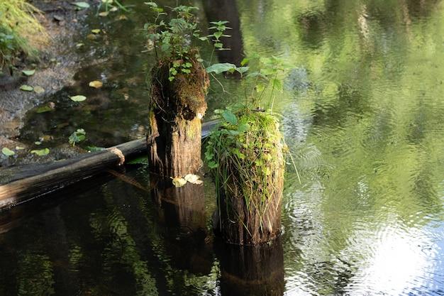 Árvores derrubadas na água do rio cobertas de musgo. fundo com copyspace