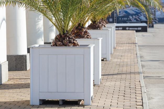 Árvores em vasos no design do exterior. pote de palmeira verde na praia. palmeira verde fica ao lado de um