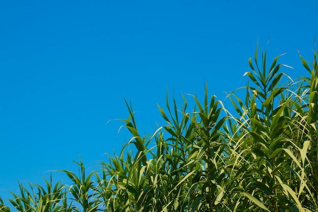Árvores exóticas, vegetação tropical. vento que funde juncos verdes no verão.