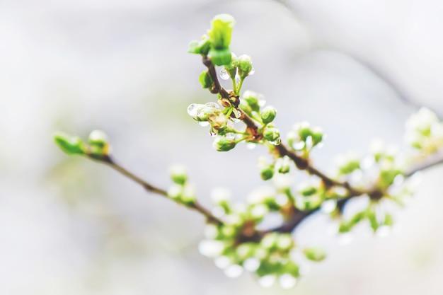 Árvores floridas de primavera. jardim florescendo. foco seletivo