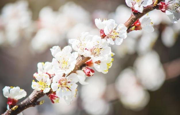 Árvores floridas de primavera. jardim florescendo. natureza foco seletivo