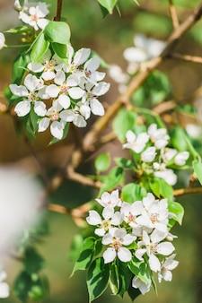 Árvores floridas, macieira, flores da árvore, primavera, polinização, natureza