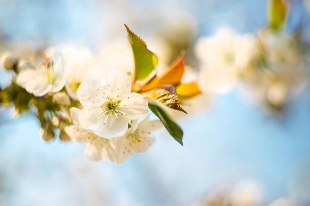 Árvores floridas na primavera. foco seletivo.