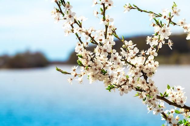 Árvores floridas na primavera, um galho de uma árvore florida perto do rio