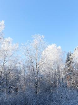 Árvores fotografadas crescendo na floresta no inverno. nos ramos, formou-se uma geada.