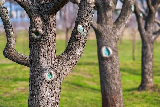 Árvores frutíferas em um pomar de primavera, pereiras nuas ou macieiras em um dia ensolarado