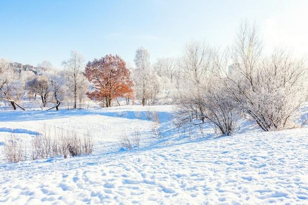 Árvores geladas no bosque nevado. tempo frio na manhã ensolarada