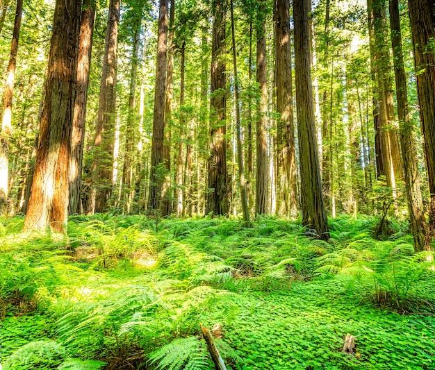Árvores gigantes de sequoias nos parques nacional e estadual de redwoods, avenue of the giants, califórnia