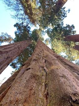 Árvores grandes do parque nacional de sequóia
