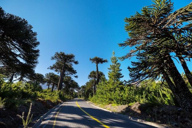 Árvores incomuns de araucária na cordilheira dos andes, chile