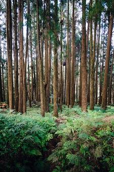 Árvores japonesas de cedro e cipreste na floresta na área de recreação da floresta nacional de alishan no condado de chiayi