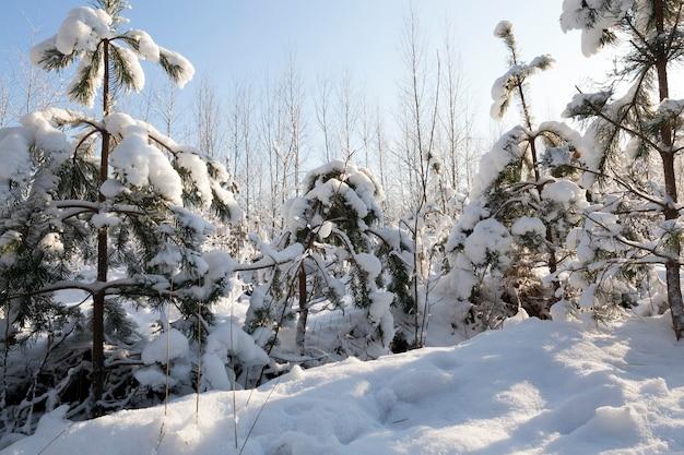 Árvores jovens são cobertas de neve no inverno. tempo frio e ensolarado pela manhã. floresta após queda de neve