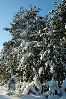 Árvores majestosas spruce majestosas ficar na floresta