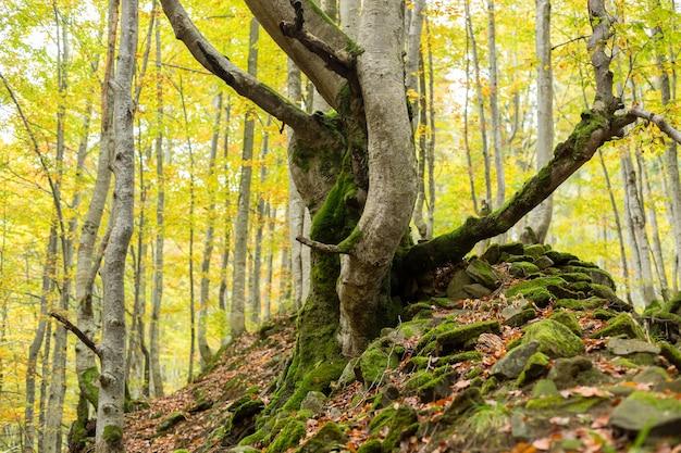 Árvores mortas cobertas de musgo em uma colina de pedras na floresta de outono