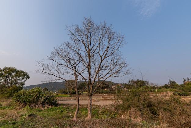 Árvores mortas douradas e grama no campo no outono