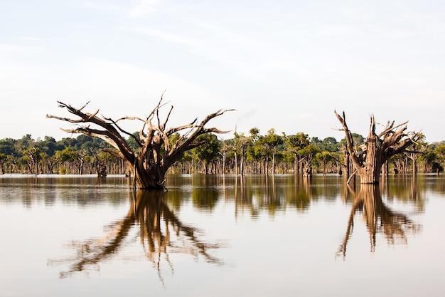 Árvores mortas em igarape no rio amazonas