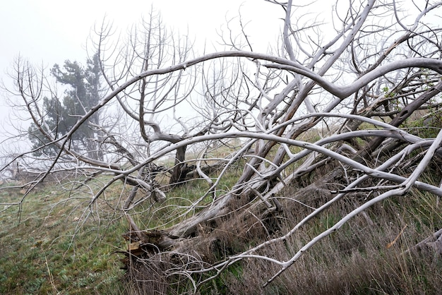 Árvores mortas no nevoeiro. paisagem mística assustador