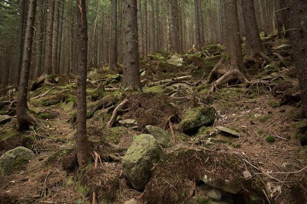 Árvores na floresta. belo caminho rochoso em uma floresta de pinheiros
