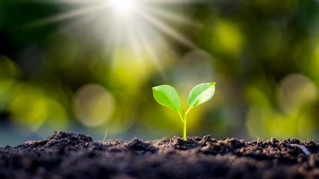 Árvores pequenas e finas estão crescendo naturalmente e a luz do sol, o conceito de agricultura e crescimento sustentável das plantas.
