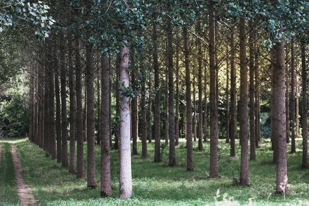 Árvores plantadas em uma fileira na floresta