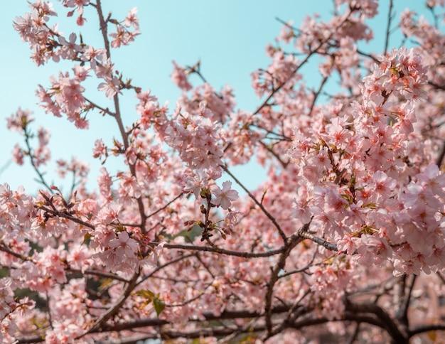 Árvores sakura, flor de cerejeira rosa