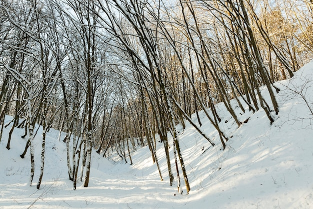 Árvores sem folhas Foto Premium