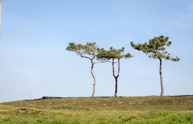 Árvores solitárias (pinheiros) no topo de uma colina no verão com um céu azul