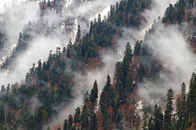 Árvores spruce na neblina matinal na montanha
