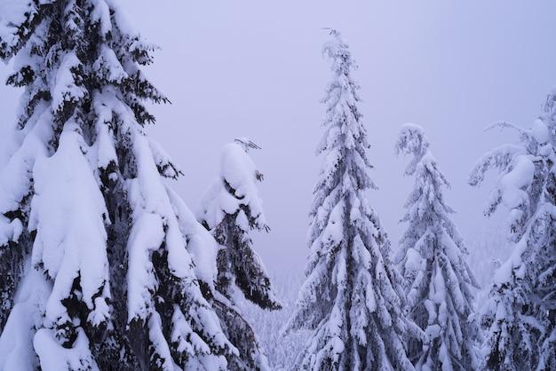 Árvores spruce na neve. cenário de inverno com névoa na floresta montanhosa